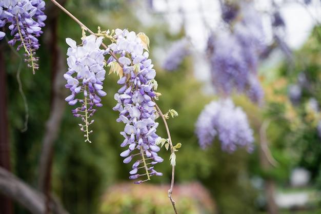 Голубой дождь вистерия цветет. китайская глициния и японский