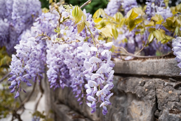 Blue rain wisteria blossom. chinese wisteria and japanese