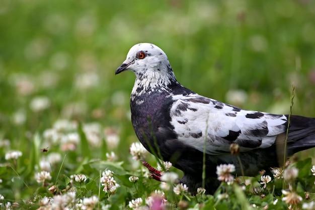 Голубой сизый голубь гуляет и добывает пищу в весеннем поле с зеленой травой и цветами дикой природы