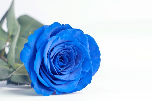 Blue rose close up on a white background