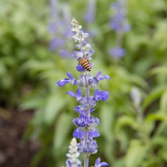 Blue salvia flower in garden