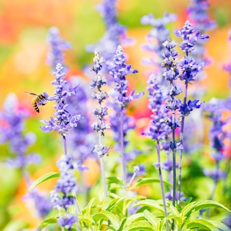 Blue salvia flower in natural garden