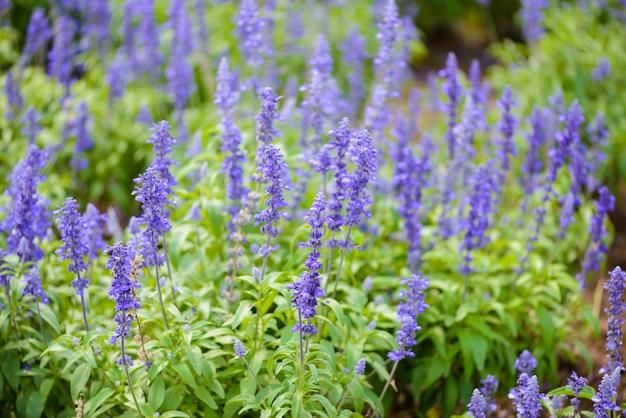 Blue salvia purple flowers