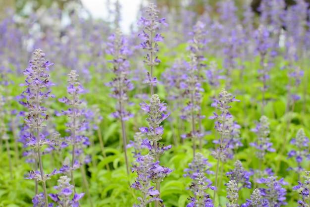 Голубая шалфей, салвия цветок в саду.