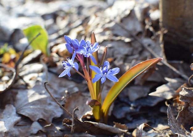 Сцилла голубая (scilla siberica) цветет в весеннем лесу краснодара