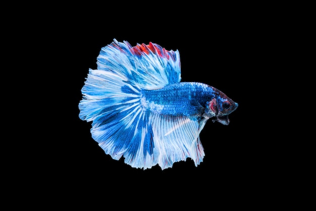Blue siamese fighting fish or betta on black background.