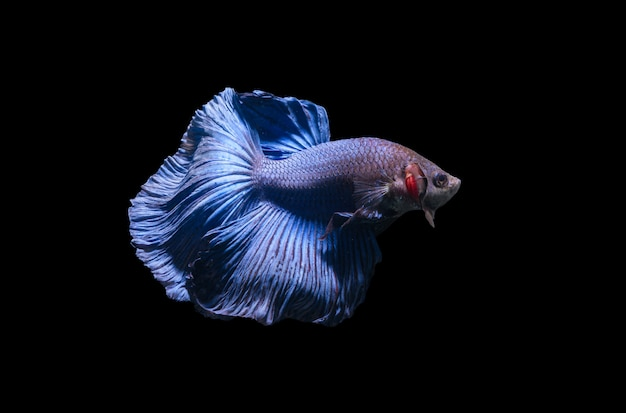 Blue siamese fighting fish, betta splendens isolated