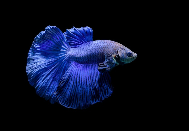 Blue siamese fighting fish, betta splendens