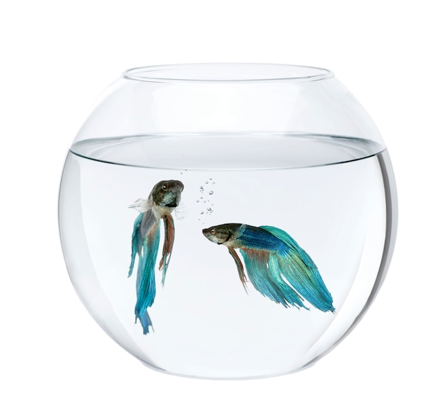 Blue siamese fighting fish in fish bowl, betta splendens isolated