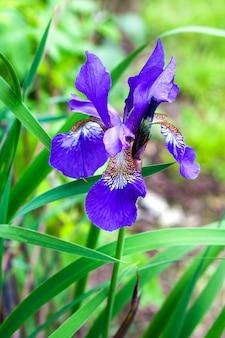녹색 정원 배경에 블루 시베리아 아이리스 꽃 근접 촬영