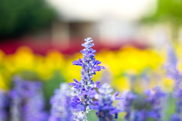 青いシルビアの花が咲く庭。