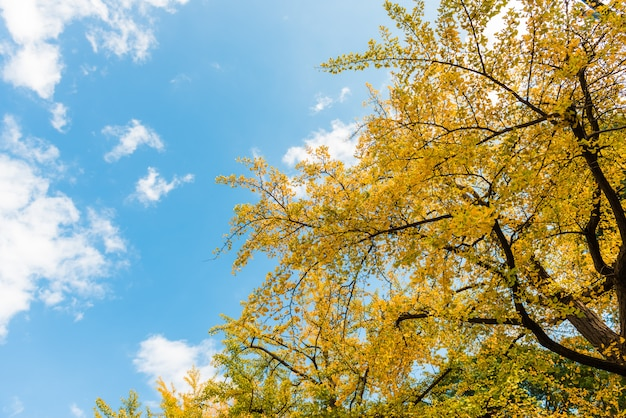 Blue sky and ginkgo