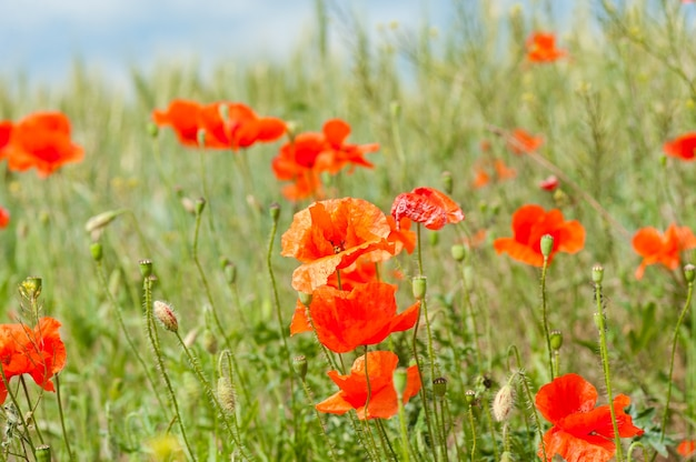 Blue sky and horizon with poppies in meadow outdoors