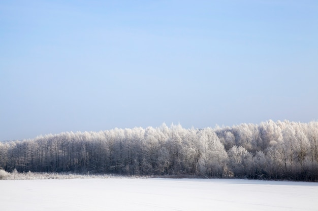 Blue sky and sunny weather , deciduous trees after snowfall and frost, branches covered with snow and ice, cold frosty winter weather, trees without foliage