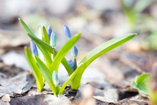 青いスノードロップ、春の最初の花、森の中の青い野の花