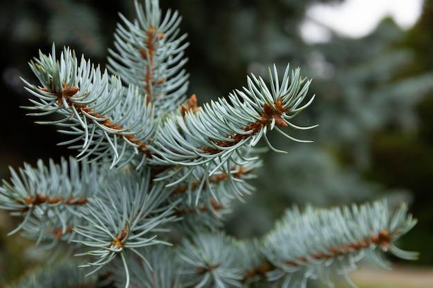 Ель синяя колючая, научное название picea pungens, крупный план. выборочный фокус.