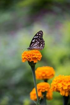 マリーゴールドの花の植物の青い斑点のトウワタ蝶