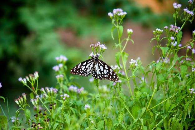 푸른 점박이 유채 나비 또는 danainae 또는 유유 나비가 꽃 식물을 먹고 있습니다.