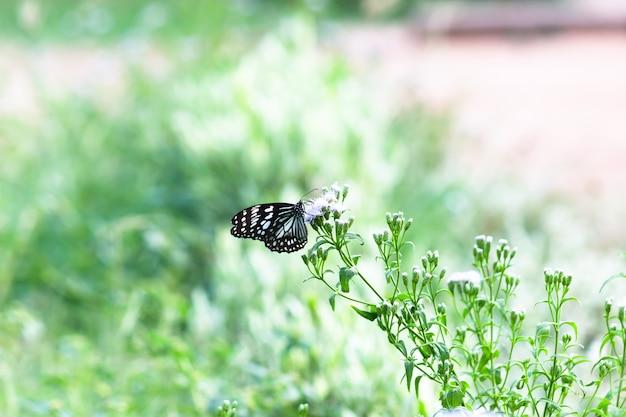 花植物を食べている青い斑点のあるマダラチョウまたはdanainaeまたはマダラチョウ Premium写真