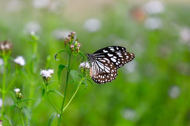 푸른 점박이 밀크위드 나비 또는 danainae 또는 밀크위드 나비가 꽃 식물을 먹고 있습니다.