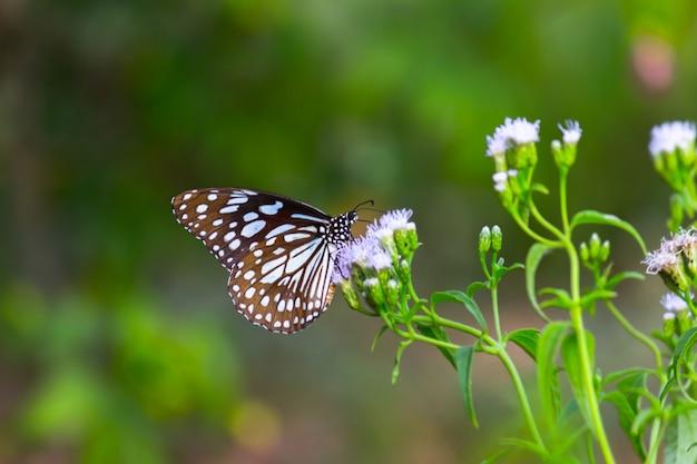 푸른 점박이 밀크위드 나비 또는 danainae 또는 밀크위드 나비가 식물에 쉬고 있습니다.