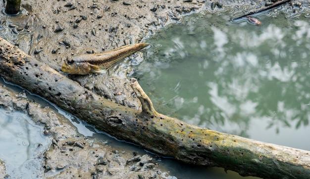 오래 된 죽은 나무 근처 갯벌에서 블루 발견 된 mudskipper (boleophthalmus boddarti)