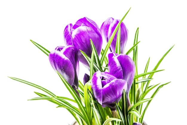 スタジオで白い背景の青い春クロッカスの花