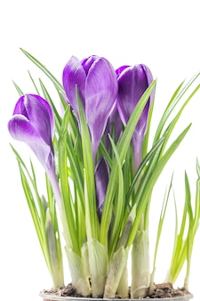 Blue spring crocus flowers on a white background in studio
