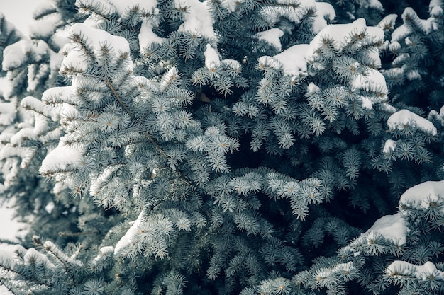 Blue spruce branches for background