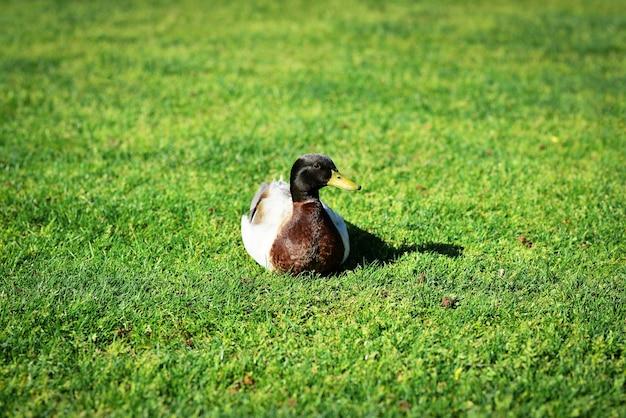 Голубая шведская утка гуляет по траве самец утки лежит в пышной зеленой траве утка на озере утка сидит в траве