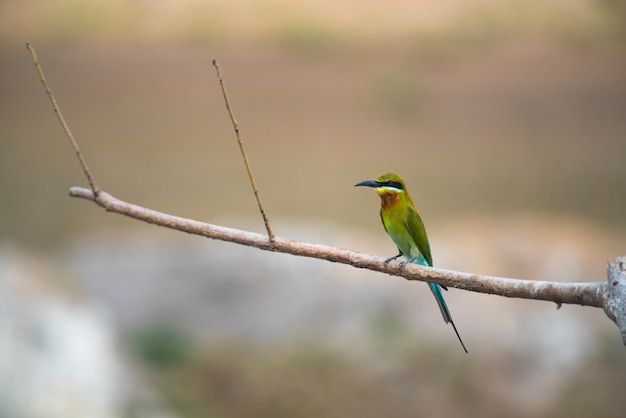 Blue-tailed bee-eater, bird