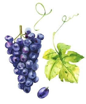 Голубой вкусный виноград. акварельный эскиз с листьями и ягодами