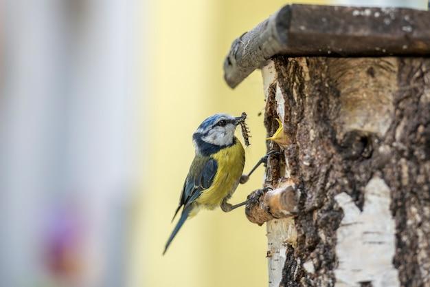 Голубая синица у скворечника, кормящего своих гусениц