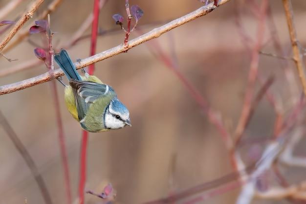 青シジュウカラ、cyanistes caeruleus、自然の生息地