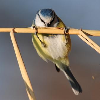 杖に座ってそこで食べ物を探しているアオガラ(cyanistes caeruleus)。