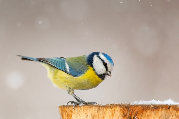 Blue tit, cyanistes caeruleus, sitting on a winter feeder.