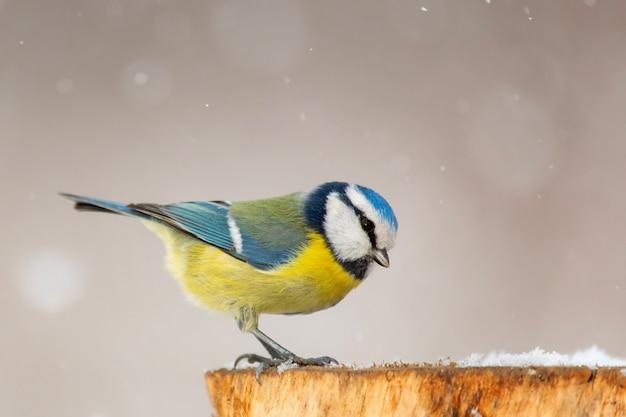 Blue tit, cyanistes caeruleus, sitting on a winter feeder.