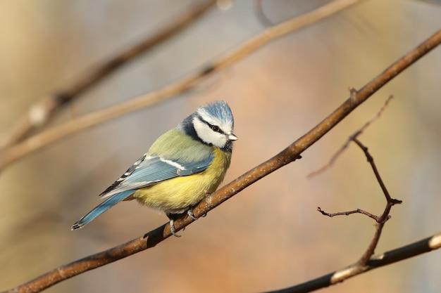 Лазоревка - parus caeruleus в осеннем лесу