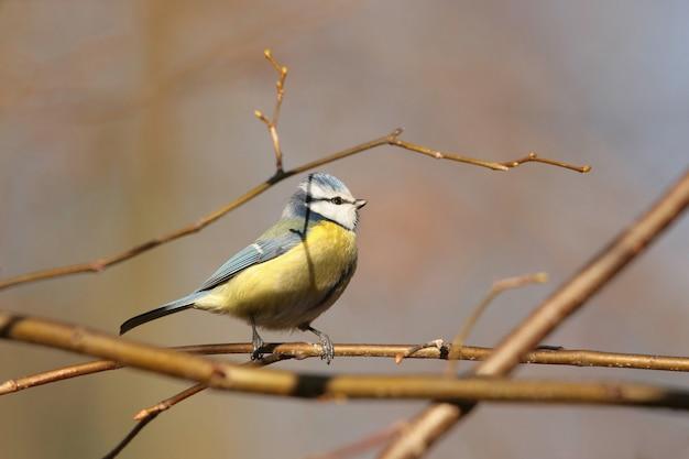 나뭇 가지에 푸른 가슴 (parus caeruleus)