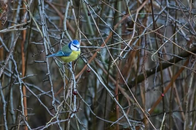 산사 나무 가지에 자리 잡고 있는 블루 짹