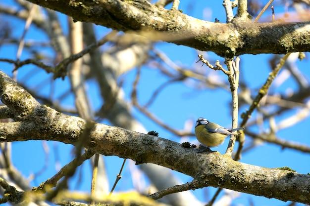 이른 아침 봄 햇살에 나뭇가지에 앉은 블루 짹