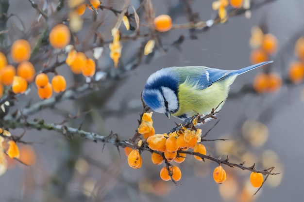 Blue tit sitting on the branch of sea-buckthorn and peck berries in winter