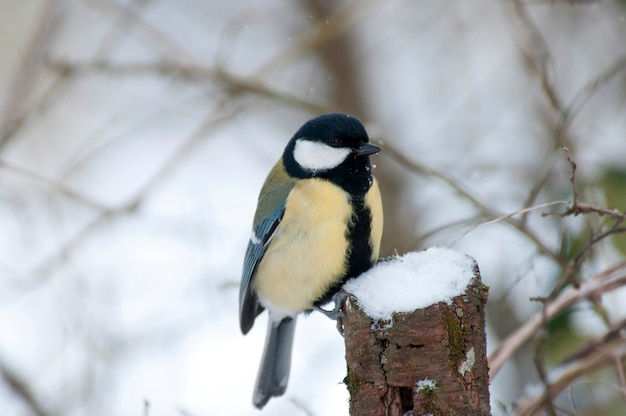 A blue tit in the snow