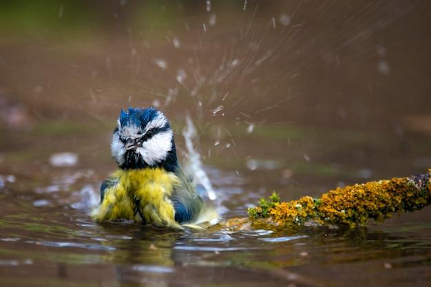 水の中で水しぶき青シジュウカラcyanistes caeruleus