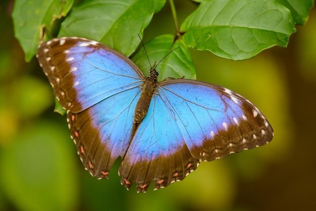 Голубая тропическая бабочка на листе