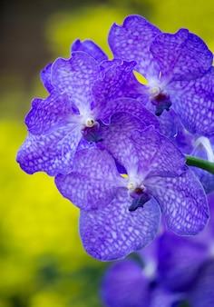 Голубой цветок орхидеи ванды