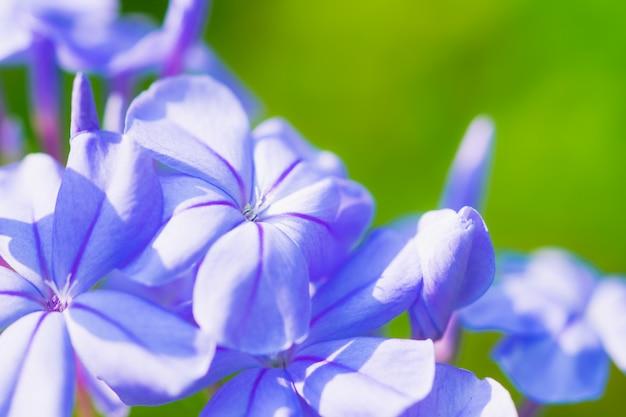 庭の青いバーベナ花