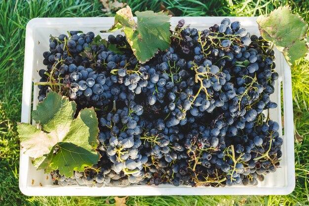 青ブドウ。秋の収穫後の箱に入ったカベルネブドウは、ワインの製造にすぐに使用できます