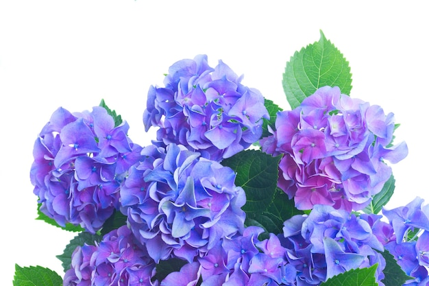 Blue and violet fresh hortensia flowers close up isolated on white