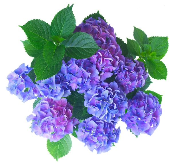 Blue and violet fresh hortensia flowers with green leaves bush isolated on white